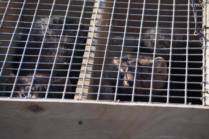 Четыре баргузинских соболя поселились в Московском зоопарке