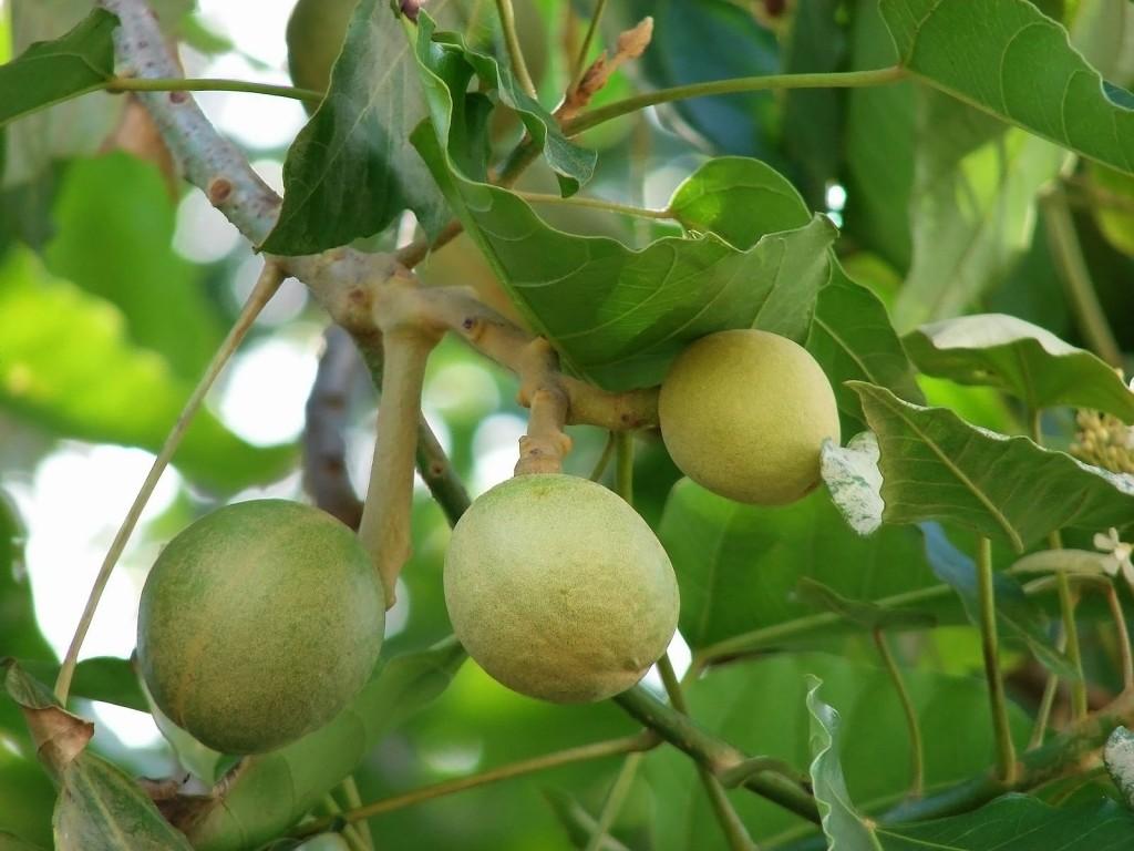 Как используют эти плоды жители Панамы?