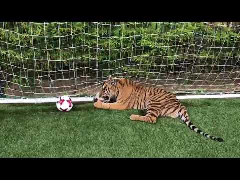 Выстоять против Салаха россиянам помог бы тигр Боня