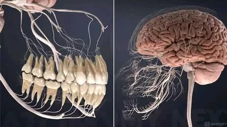 Мозг, нервы и зубы
