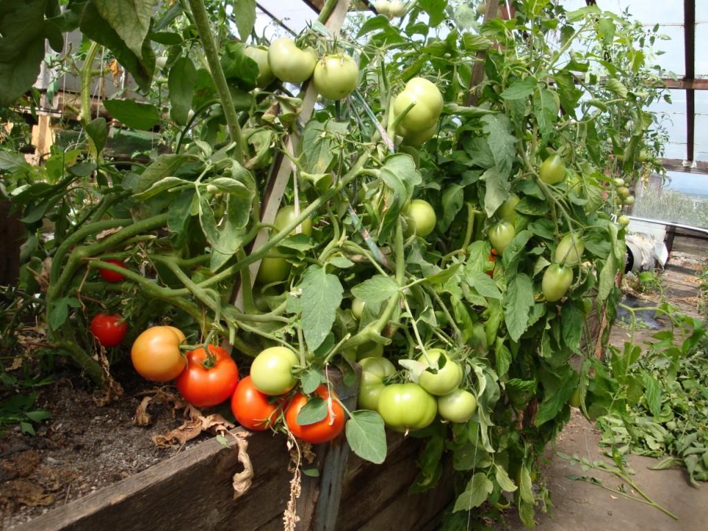 Выращивание помидор из своих семян 380