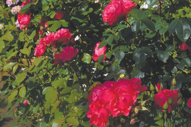 Посадка роз: на что обратить…