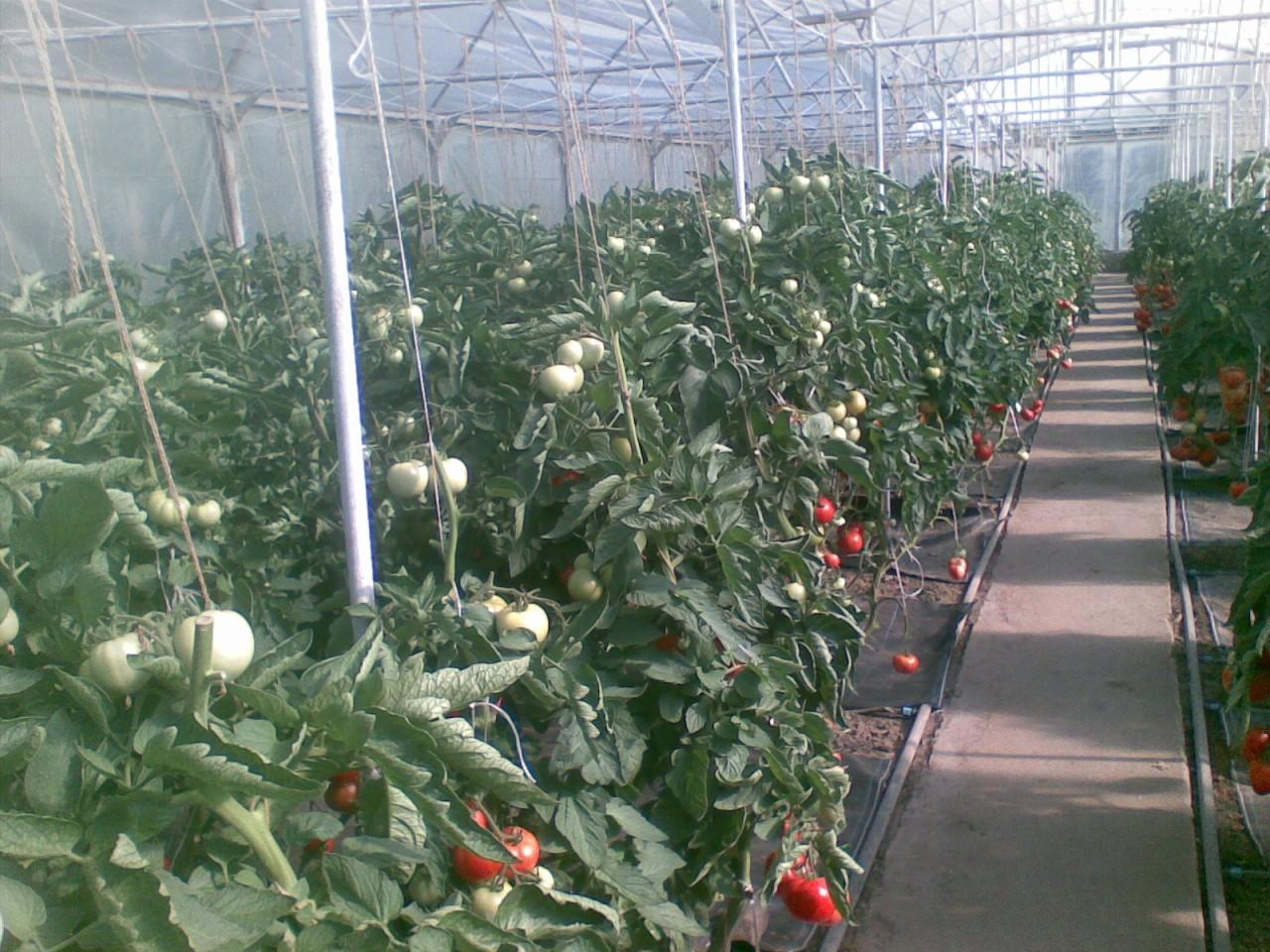 Как помидоры сажают корейцы 62
