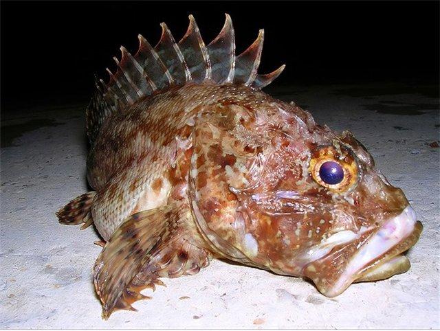 """Ядовитые рыбы Черного моря. Статьи компании """"Море рыбы"""""""