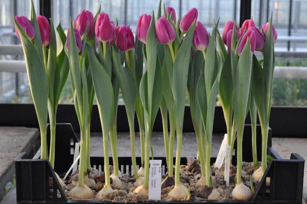 Букет тюльпанов можно вырастить зимой без всякой оранжереи и к нужному вам сроку.