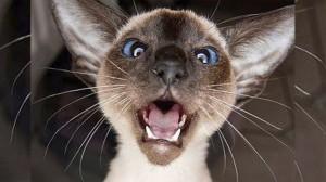 """Рубрика """"Вопрос-ответ"""". Почему кошки мяукают?"""