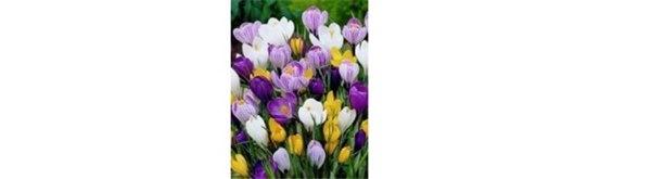 Крокусы: выращиваем луковичные в саду. Посадка и уход за крокусами – лучшими весенними первоцветами (фото)