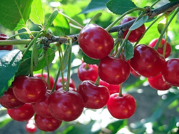 САД, ЦВЕТНИК И ОГОРОД. Подкормка вишни