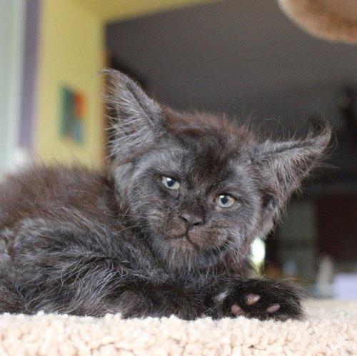 Кошка Валькирия с человеческим лицом