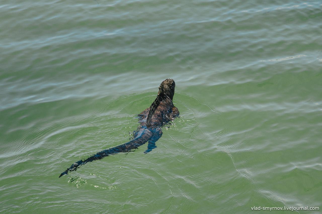 Морская игуана