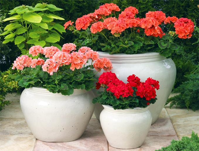Комнатная герань Выращивание и уход в домашних условиях