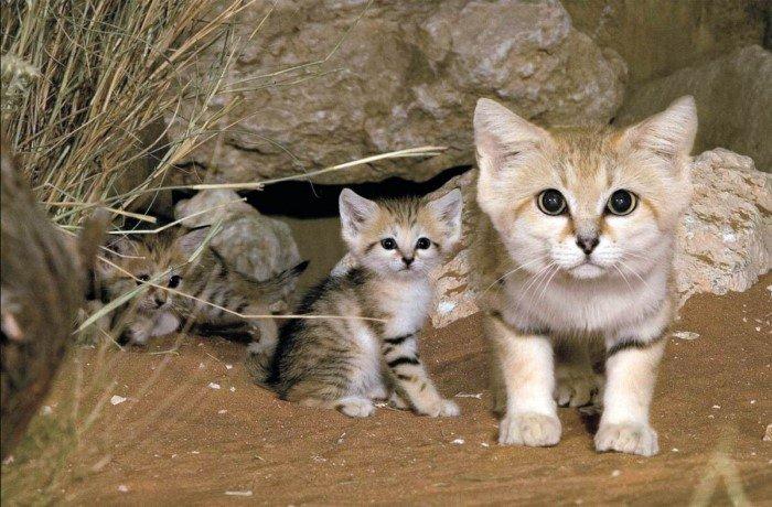Барханный кот: Самый мелкий вид кошек
