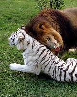 Белые тигры 36
