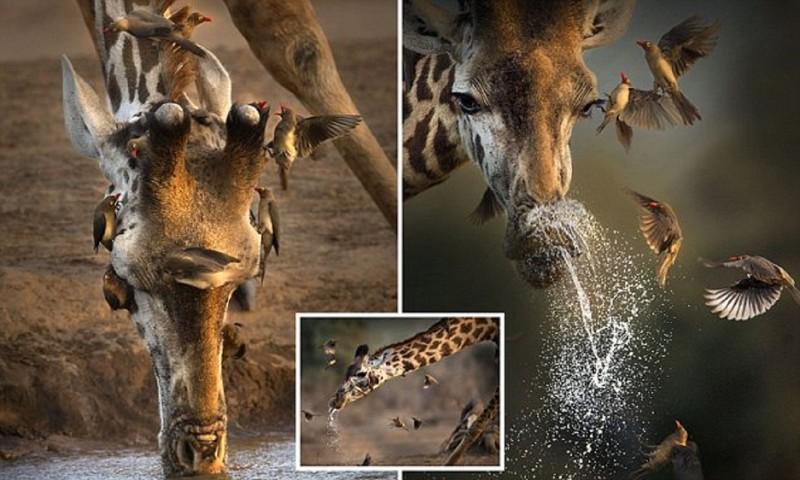 Уникальные кадры с чихающим жирафом из Кении
