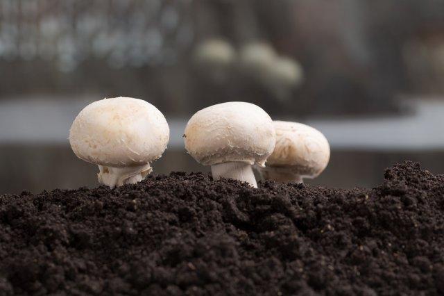 Инструкция по выращиванию шампиньонов в домашних условиях