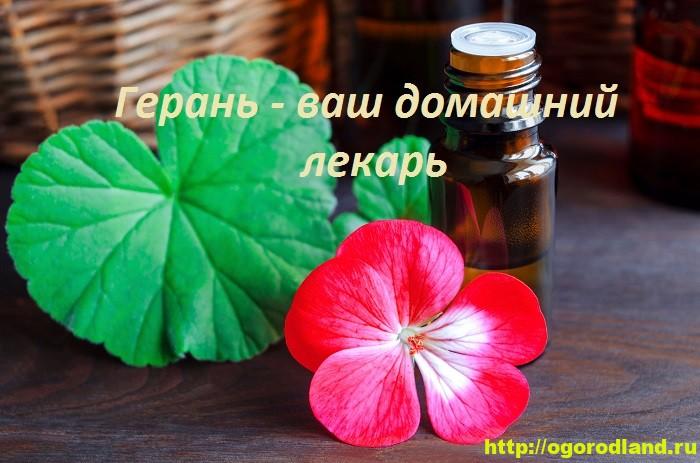Герань и здоровье. Полезные и лечебные свойства герани