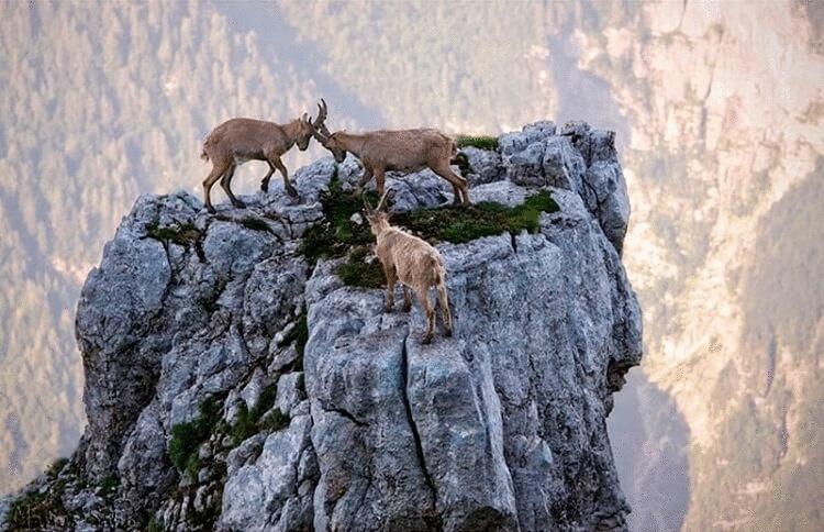 20 забавных фото горных козлов