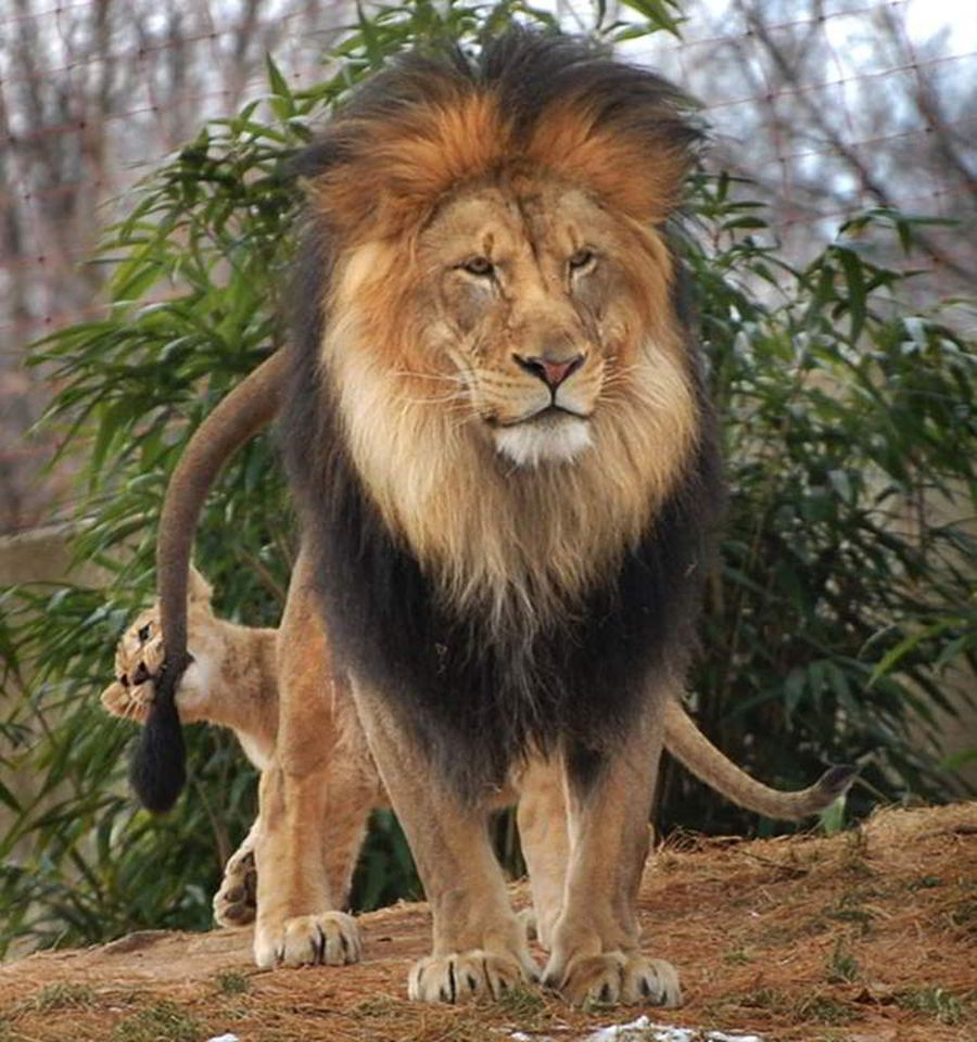 Семейные драмы из жизни царя зверей