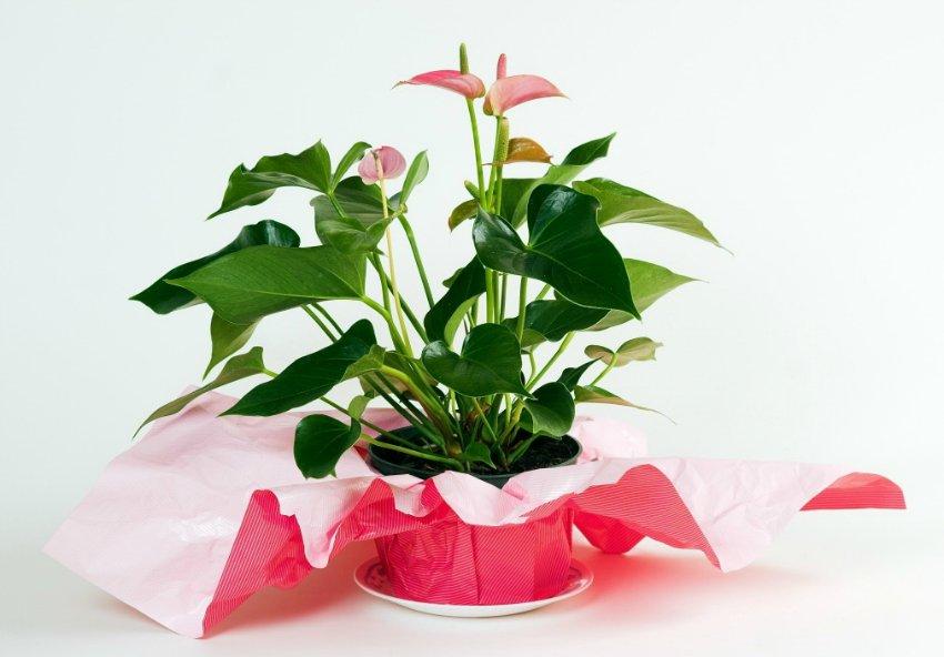 Цветы в горшках в подарок женщине 90