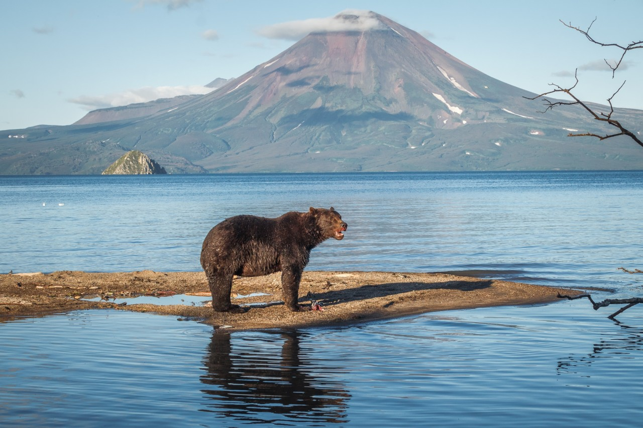 Мамы и детёныши, или бурые медведи в раю