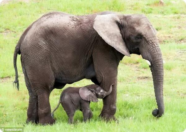 Она же мать! Бой слонихи со …
