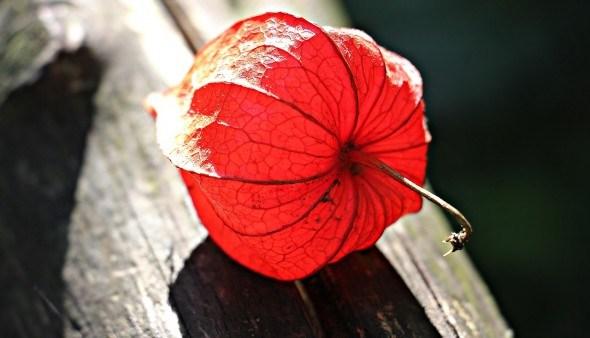 Дивный физалис на даче: выращивание, посадка и уход