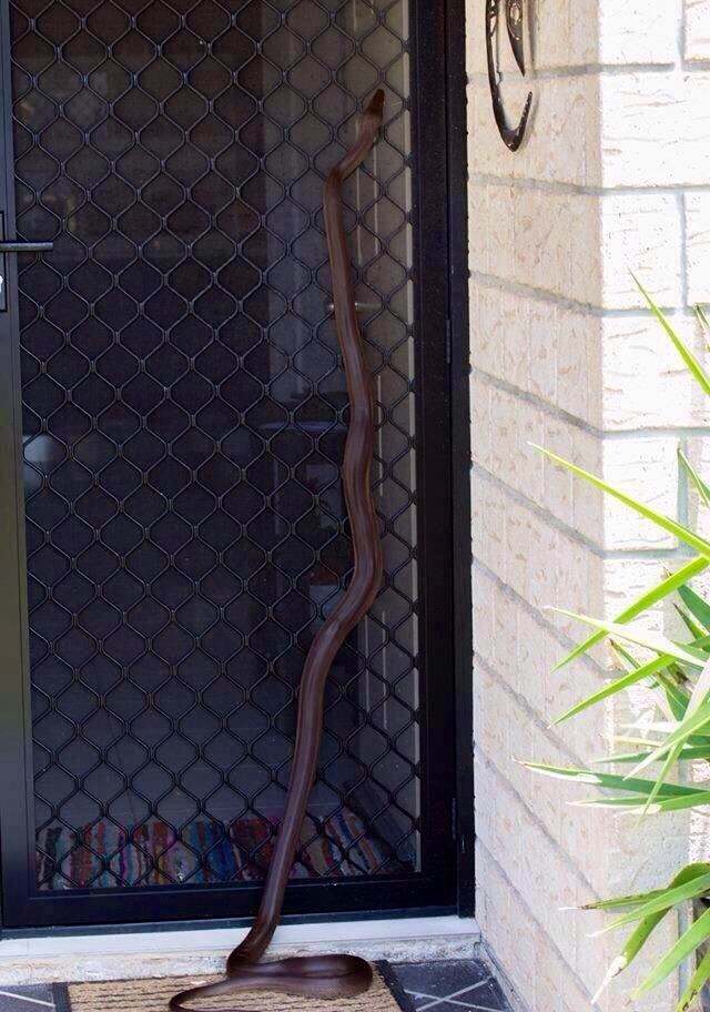 Эти незваные гости часто заползают в дома австралия, змея