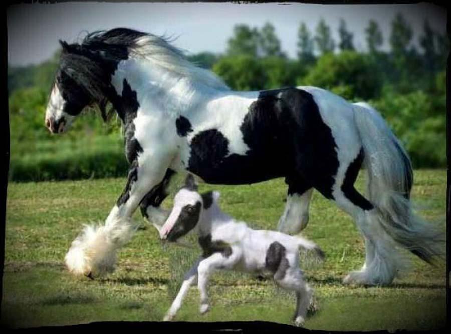 SmallestHourse 11 Эйнштейн   самая маленькая лошадка