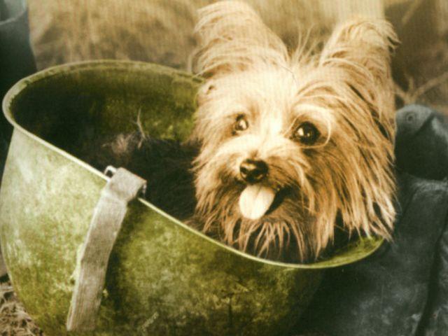 Маленький пёс на большой войне. Как пропавший терьер стал героем Второй мировой