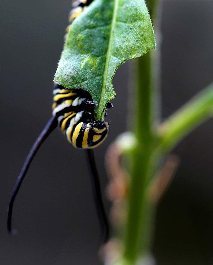 844 Метаморфозы и рождение бабочки монарха