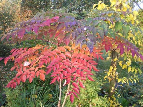 Декоративные кустарники для осени - виды и фото.
