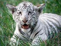 Белые тигры 23