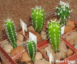 Размножение кактусов (часть 2)