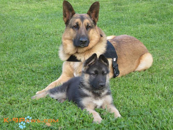 Немецкая овчарка – ужасающе страшная порода собак! Вот 15 причин, почему