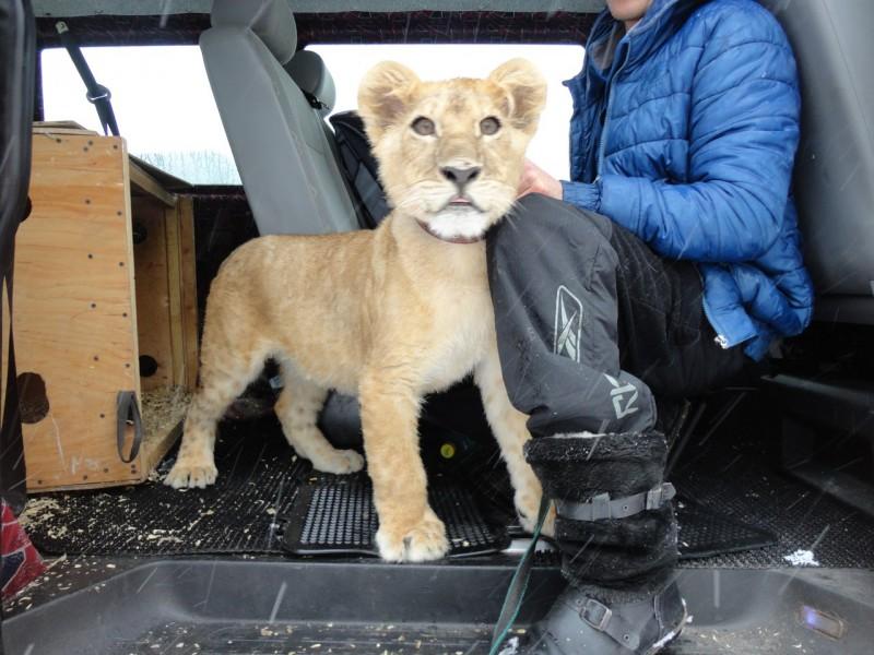 Молодую львицу выкупили у московского коммерсанта