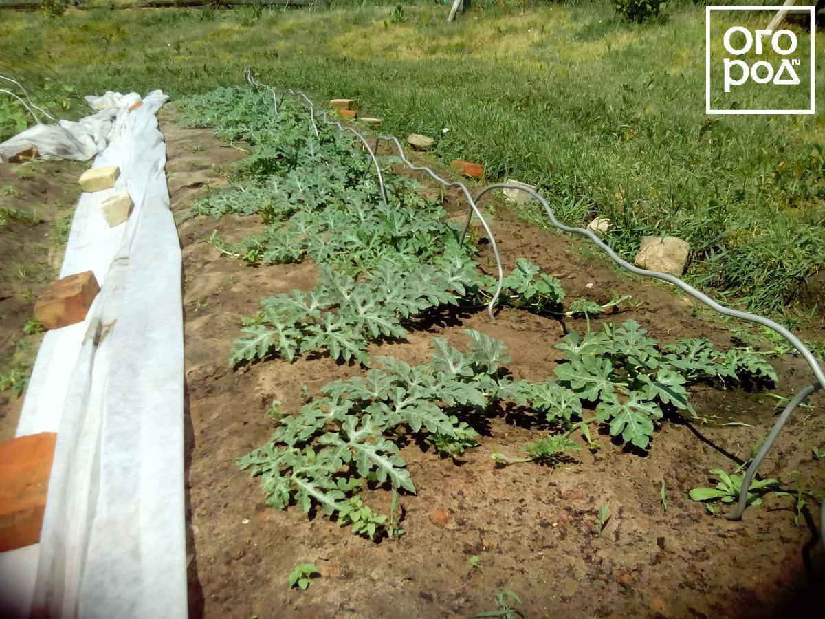 Выращивали рассаду арбуза 24