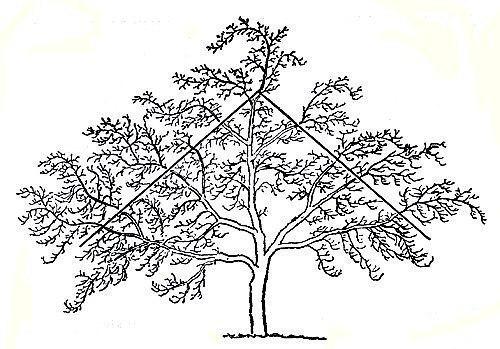 Омолаживающая обрезка яблонь осенью  Яблони — одно из самых...