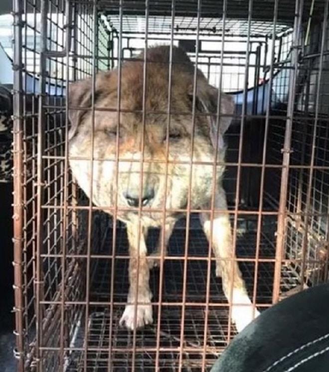 Опухоль у собаки на мордочке оказалась совсем не опухолью, а следствием человеческой жестокости…
