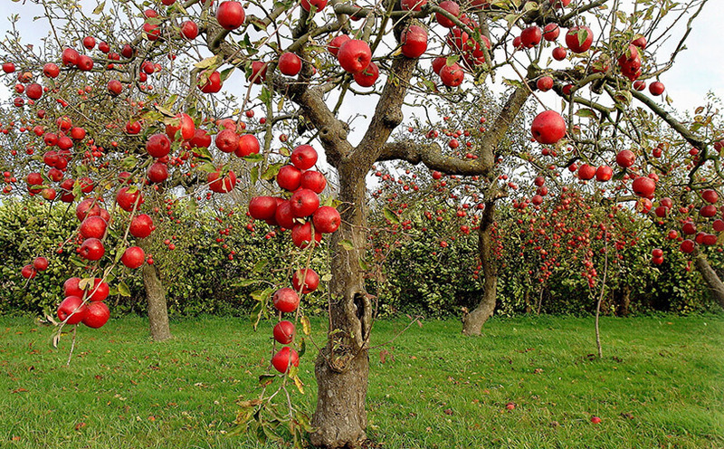 Садовый лайфхак: Как правильно прививать яблоню