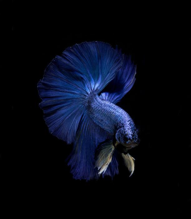 Рыбка-петушок. Фото: Visarute Angkatavanich.