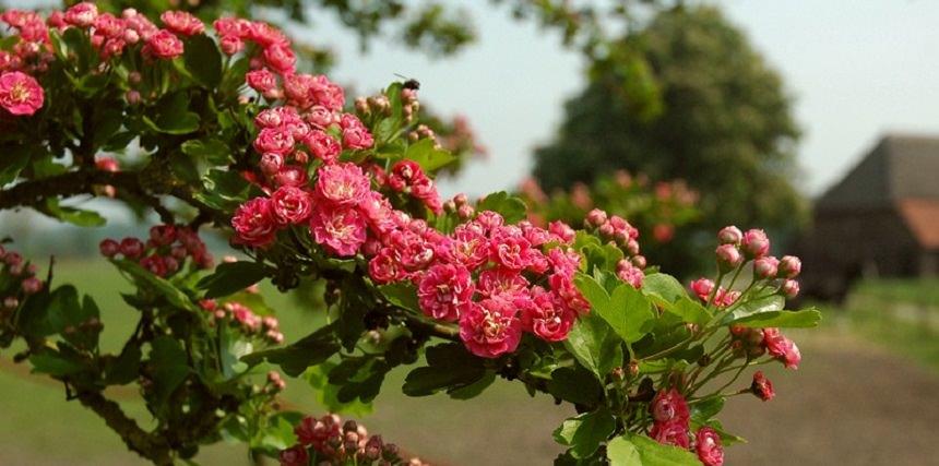 Как цветёт боярышник