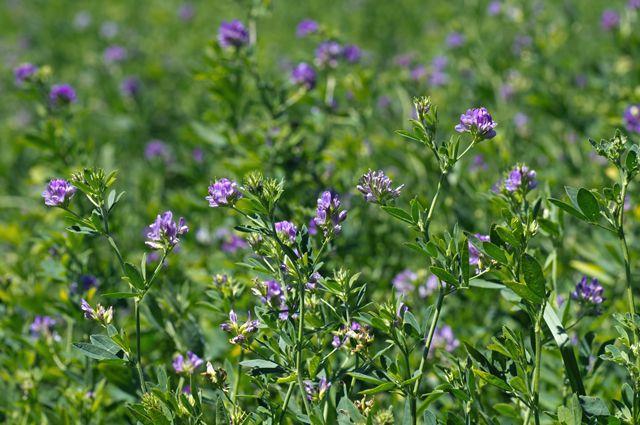 Лекарственные свойства люцерны посевной