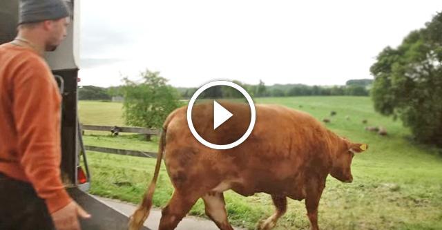Корова заплакала, подумав, что ее ведут на бойню...