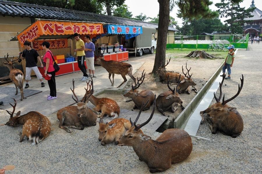 Оленье нашествие на японский город Нара