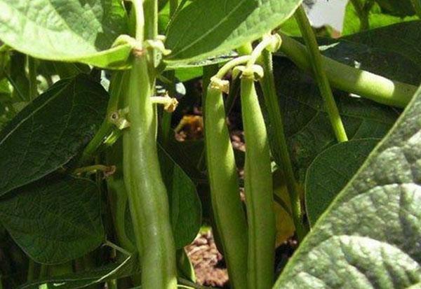 урожай фасоли в открытом грунте