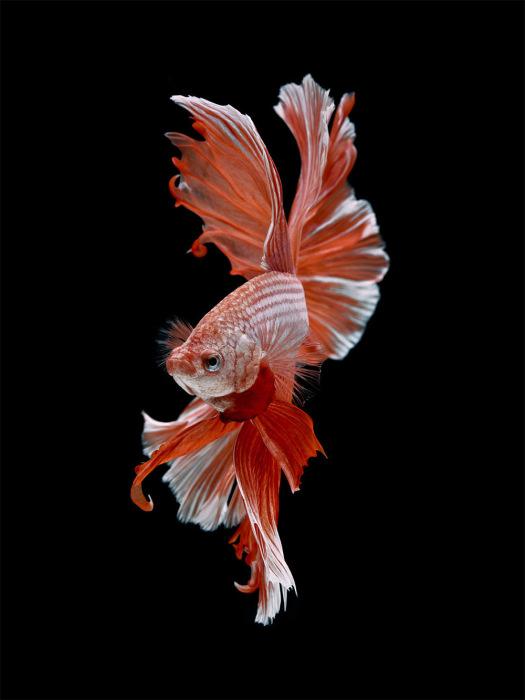 Красная бойцовая рыбка на черном фоне. Фото: Visarute Angkatavanich.