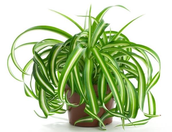 Знакомьтесь: хлорофитум. Неубиваемое растение для ленивого цветовода
