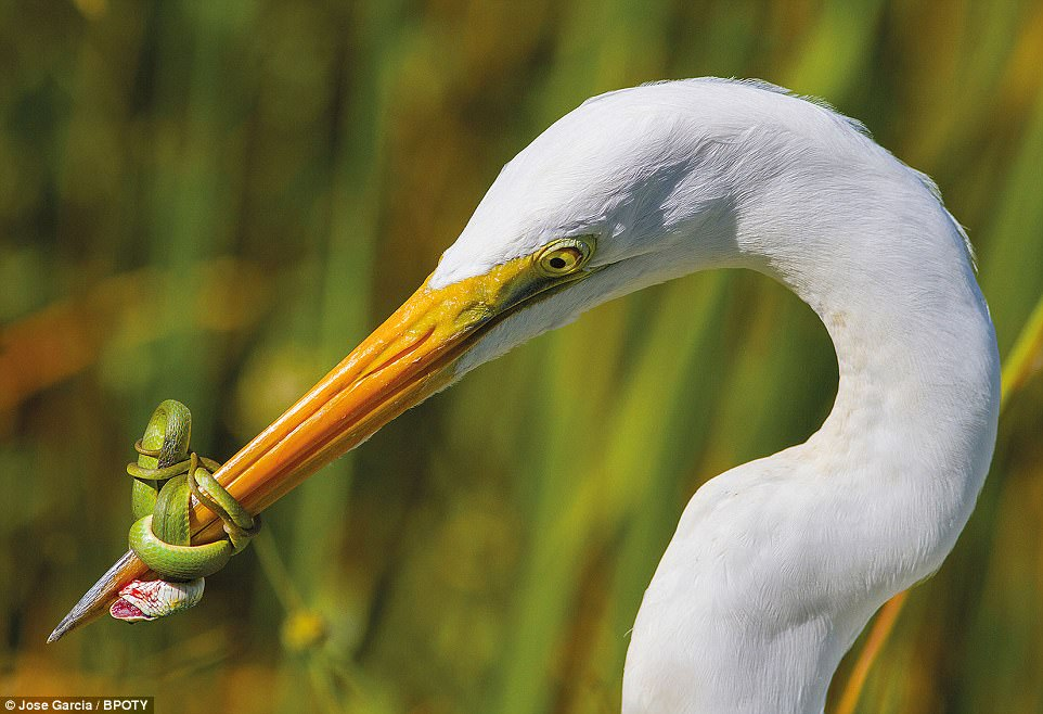 The battle: This shot is by Jose Garcia from Miami, Florida. He said: 'This Great White Heron fighting a green snake in the Florida Everglades. The fight lasted for nearly 20 minutes with the Heron having to release its prey'