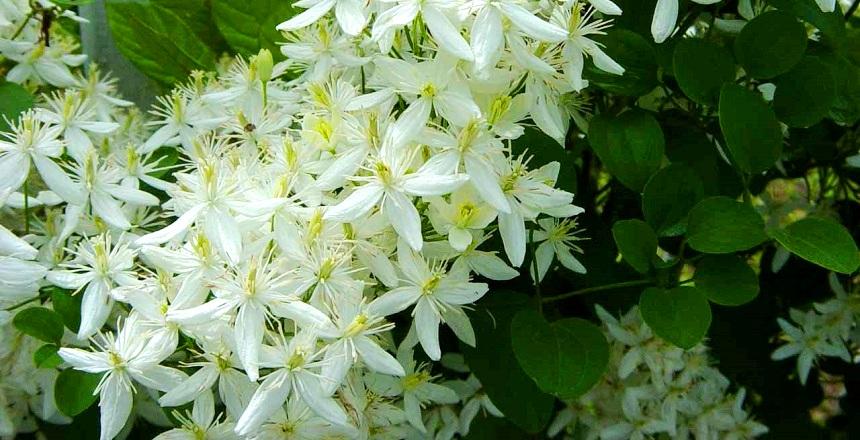 Клематис с мелкими белыми цветами уход и выращивание 70