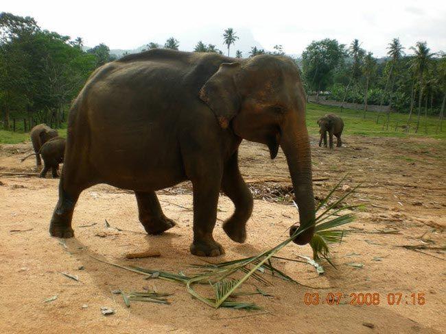 Сколько месяцев беременность слонихи